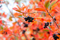 Rowanberry scene fruits ripe on branch shrubbery Stock Photo