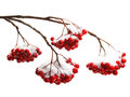 Rowanberry twig on white background in snow Stock Photography