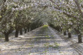 Rows of almond trees blooming petals on ground Royalty Free Stock Photo