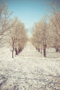 Rows apple trees winter day Royalty Free Stock Photography