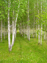Rows of birch trees with green grass and flowers Stock Photo