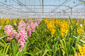 Rows of blooming pink and yellow orchids Royalty Free Stock Photo