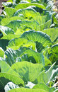 Rows of Cabbage Royalty Free Stock Photo