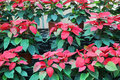 Rows of Christmas roses Royalty Free Stock Photo