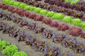 Rows of colourful lettuce salad leaf plants Royalty Free Stock Photo