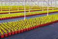 Rows of conifer sprouts in a greenhouse large young Royalty Free Stock Images