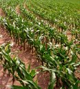 Rows of Corn Royalty Free Stock Photo