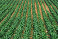 Rows of Corn Royalty Free Stock Photography