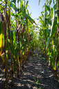 Rows in a corn field low perspective image of Royalty Free Stock Photography