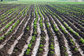 Rows of corn or maize plants Stock Photos