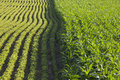 Rows of corn and soybeans in afternoon sunlight Royalty Free Stock Photo
