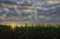 Rows of Corn Royalty Free Stock Photo