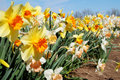 Rows of Daffodils Stock Image