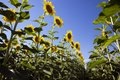 stock image of  Rows of flowering sunflowers on the field