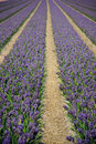 Rows of flowers Stock Photography