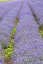 Rows of flowers. Lavenders field Stock Photos