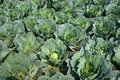Rows of fresh cabbage plants Royalty Free Stock Photo