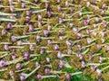 Rows of garlic bio drying ground Royalty Free Stock Photo