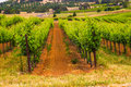 Rows Of Grape Vines Royalty Free Stock Photo