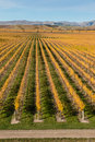 Rows Of Grapevine In Autumn
