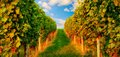 Rows of grapevine in warm sunlight two on a hill evening leading to the blue sky Stock Images