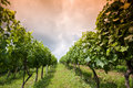 Rows of grapevines Royalty Free Stock Photography