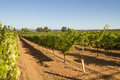 Rows of grapevines in California Royalty Free Stock Photo