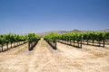 Rows of Grapevines in California desert Royalty Free Stock Photo