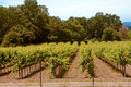 Rows of grapevines in country Royalty Free Stock Photo