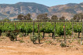 Rows of Grapevines in Ensenada, Mexico Royalty Free Stock Photo