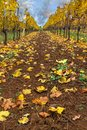 Rows of Grapevines in Fall Season Oregon USA America Royalty Free Stock Photo