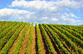 Rows of grapevines or plants at a vineyard with blue sky and cumulus clouds in the background Stock Photos