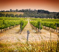 Rows of grapevines taken at Australia's prime wine growing winery - sunset Royalty Free Stock Photo