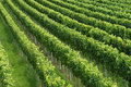 Rows of grapevines in vineyard Royalty Free Stock Photo