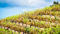 Rows of grapevines in a vineyard Royalty Free Stock Photo