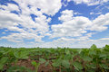 Rows of green soybeans against the blue sky. Soybean fields rows. Royalty Free Stock Photo