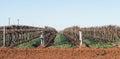 Rows of Hedged Chardonnay Vines, Mildura, Australia. Royalty Free Stock Photo