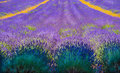 Rows of Lavender disappear to infinity Royalty Free Stock Photo