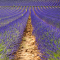 Rows Of Lavender Flowers