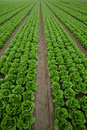 Rows of Lettuce Royalty Free Stock Photos