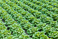 Rows of lettuce growing inside a greenhouse Royalty Free Stock Photos