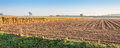 Rows maize stubbles maize ripe harvesting Stock Photography