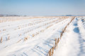 Rows of maize stubbles in snow Royalty Free Stock Image