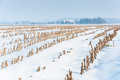 Rows of maize stubbles in snow Royalty Free Stock Photos