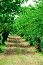 Rows of mulberry trees, with many years, near Vicenza in Veneto (Italy) Royalty Free Stock Photo