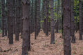 Rows of pine trees in a forest during fall with leaves on the ground Stock Photo