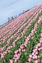 Rows of pink tulips Royalty Free Stock Photo