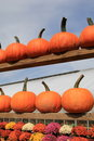 Rows of pumpkins and hardy mums colorful invite the cooler season fall to the countryside Stock Photography