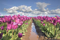 Rows of purple tulip flowers in farm with blue sky and white clouds over landscape Royalty Free Stock Images