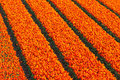 Rows of red and orange tulips on a farm field high angle view Royalty Free Stock Photo